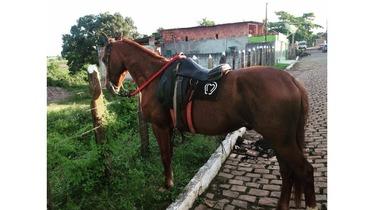 Equídeo Equino Mangalarga Marchador Não Registrado Cavalo Alazã Marcha Batida - Pastar Imagens