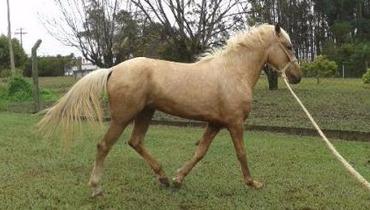 Equídeo Equino Mangalarga Não Registrado Cavalo Baia - Pastar Imagens