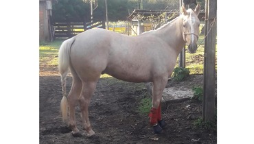 Equídeo Equino Quarto de Milha Registrado Cavalo Baia Trabalho - e-rural Imagens