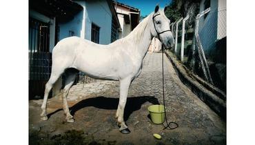 Equídeo Equino Mangalarga Não Registrado Cavalo Tordilha - e-rural Imagens