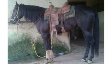 Equídeo Equino Quarto de Milha Registrado Potro Zaina Trabalho - e-rural Imagens