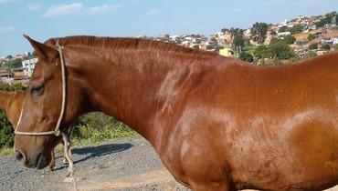 Equídeo Equino Mangalarga Não Registrado Cavalo Castanha Marcha Picada - e-rural Imagens