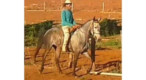 Equídeo Equino Mangalarga Marchador Registrado Garanhão Baia Marcha Picada - e-rural Imagens