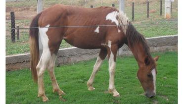 Equídeo Equino Paint Horse Não Registrado Potra Pampa Corrida - Pastar Imagens