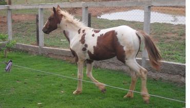 Equídeo Equino Paint Horse Registrado Potra Pampa Corrida - Pastar Imagens