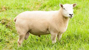 Ovino Corte Texel Reprodutor Andrológico em dia - Pastar Imagens