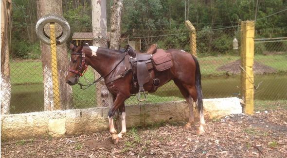 Equídeo Equino Mangalarga Marchador Registrado Égua Pampa Marcha Picada - e-rural Imagens
