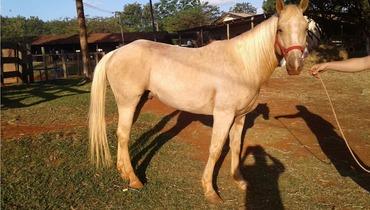Equídeo Equino Quarto de Milha Não Registrado Cavalo Baia Corrida - e-rural Imagens