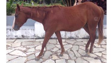 Equídeo Equino Quarto de Milha Não Registrado Égua Alazã Corrida - Pastar Imagens