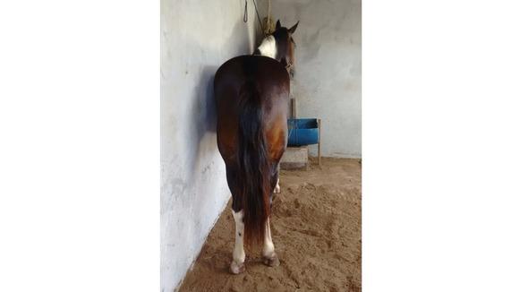 Equídeo Equino Pampa Não Registrado Cavalo Castanha Marcha Picada - Pastar Imagens