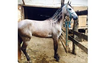 Equídeo Equino Mangalarga Marchador Registrado Cavalo Tordilha Marcha Batida - e-rural Imagens