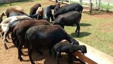 Ovino Corte Santa Inês Ovelha 35-50kg - Pastar Imagens