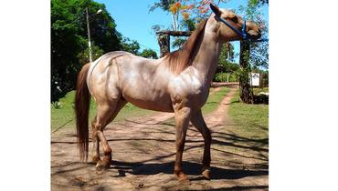 Equídeo Equino Quarto de Milha Registrado Cavalo Rosilha Trabalho - Pastar Imagens