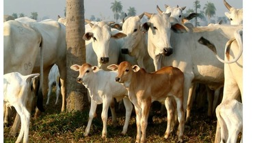 Bovino Corte Nelore Vaca 11-15@ - Pastar Imagens