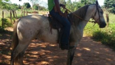 Equídeo Equino Diversos Não Registrado Cavalo Tordilha Marcha Batida - Pastar Imagens