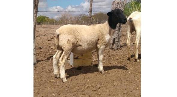 Ovino Corte Dorper Carneiro 35-50kg - e-rural Imagens