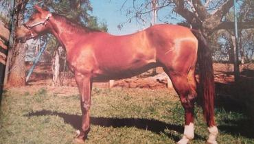 Equídeo Equino Paint Horse Registrado Égua Alazã Trabalho - Pastar Imagens