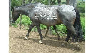 Equídeo Equino Crioulo Registrado Diversos - e-rural Imagens