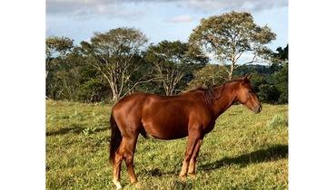 Equídeo Equino Quarto de Milha Registrado Cavalo Alazã - Pastar Imagens