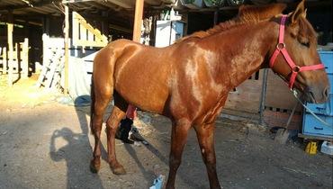 Equídeo Equino Diversos Não Registrado Cavalo Alazã - Pastar Imagens