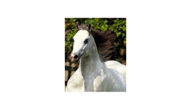 Equídeo Equino Quarto de Milha Registrado Cobertura - Pastar Imagens