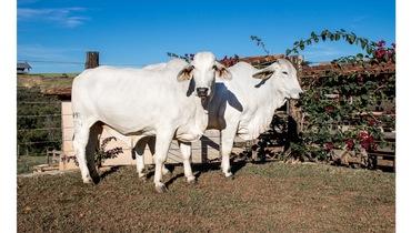 Bovino Corte Brahman Vaca 16-20@ - Pastar Imagens