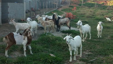 Caprino Corte Mestiço Cabra - e-rural Imagens