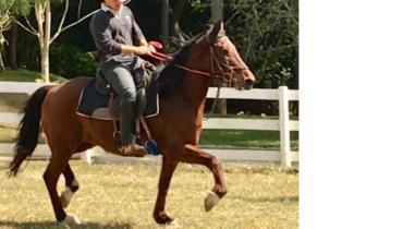 Equídeo Equino Mangalarga Registrado Cavalo Castanha Marcha Batida - Pastar Imagens