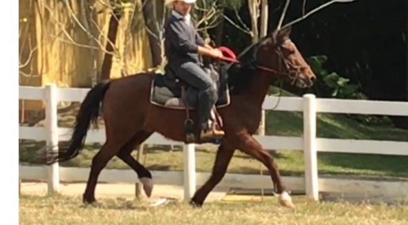 Equídeo Equino Mangalarga Registrado Cavalo Castanha Marcha Batida - e-rural Imagens