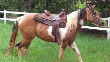Equídeo Equino Paint Horse Registrado Potra Pampa - e-rural Imagens