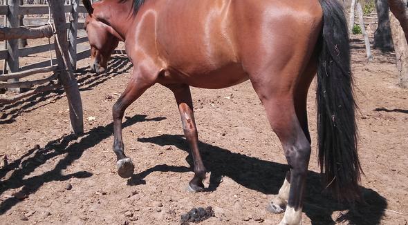 Equídeo Equino Mangalarga Não Registrado Cavalo Castanha - e-rural Imagens