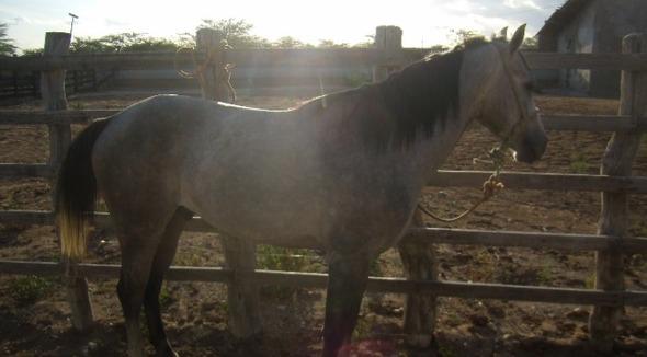 Equídeo Equino Quarto de Milha Não Registrado Cavalo Tordilha - e-rural Imagens