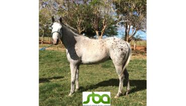 Equídeo Equino Quarto de Milha Não Registrado Cavalo Apaloosa Corrida - Pastar Imagens