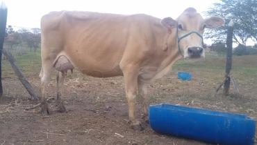 Bovino Leite Jersey Vaca 11-15l - Pastar Imagens