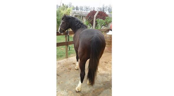 Equídeo Equino Crioulo Não Registrado Cavalo - e-rural Imagens