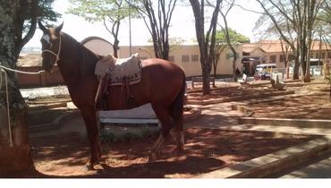 Equídeo Equino Mangalarga Marchador Não Registrado Cavalo Alazã Marcha de Centro - Pastar Imagens