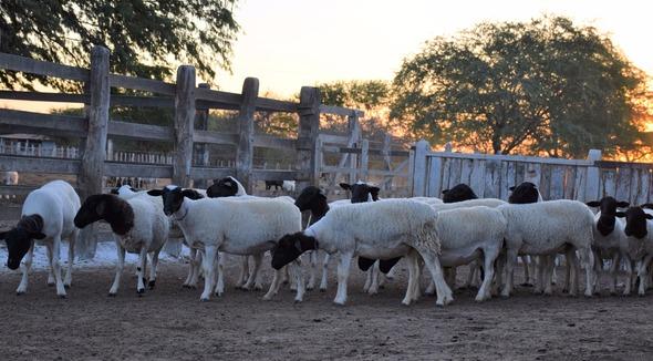 Ovino Dorper - e-rural Imagens