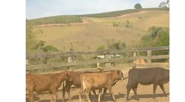 Bovino Corte Red Angus Bezerro - e-rural Imagens