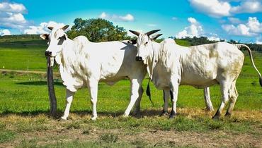 Bovino Corte Nelore Vaca - Pastar Imagens