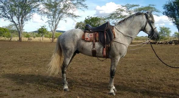 Equídeo Equino Mangalarga Marchador Registrado Potro Tordilha - e-rural Imagens