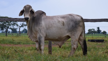 Bovino Corte Brahman Touro 16-20@ - e-rural Imagens
