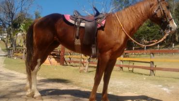 Equídeo Equino Quarto de Milha Registrado Cavalo Castanha - Pastar Imagens