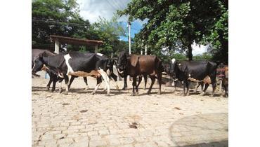 Bovino Leite Girolando Vaca - Pastar Imagens