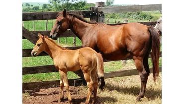 Equídeo Equino Paint Horse Registrado Égua - Pastar Imagens