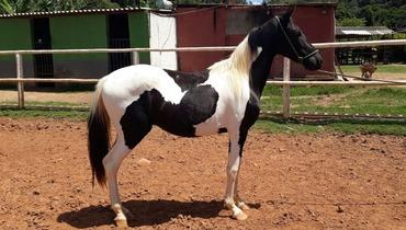 Equídeo Equino Mangalarga Marchador Registrado Cavalo - Pastar Imagens