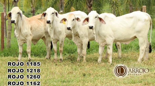 Bovino Corte Brahman Novilha 11-15@ - e-rural Imagens