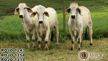 Bovino Corte Brahman Garrote 20+@ - e-rural Imagens