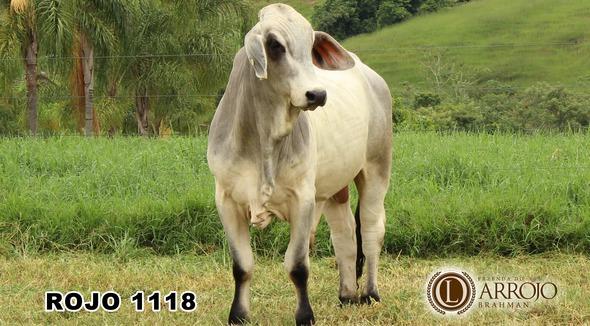 Bovino Corte Brahman Touro 20+@ - e-rural Imagens