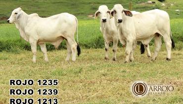 Bovino Corte Brahman Garrote 16-20@ - e-rural Imagens