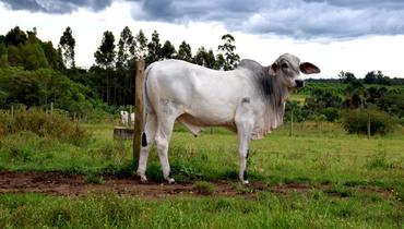 Bovino Corte Tabapuã Touro 20+@ Andrológico em dia - e-rural Imagens